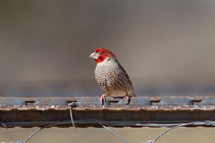 Red headed Finch Stock Images