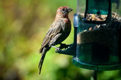 Red Headed Finch Bird Stock Images