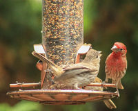 Red Headed finch feeds. Baby house finch perched on a feeder waiting to be fed by an adult red headed finch stock photography