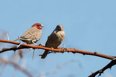 Red headed finch Royalty Free Stock Image