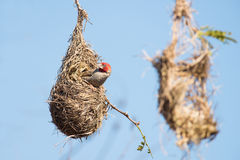 Red headed finch in nest Royalty Free Stock Photo