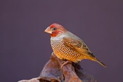 Red-Headed Finch perched on rock Royalty Free Stock Photos