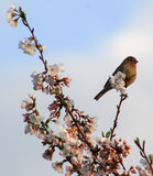 Red headed finch w/blossoms Stock Photo
