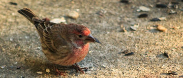 Red Headed Finch -w/ seed Stock Photography