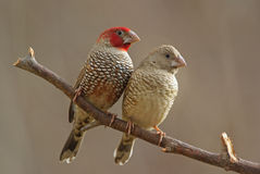 Red-headed finches. Male and female adult breeding birds Stock Photo