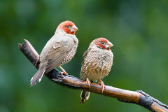 Red-headed finches amadina erythrocephala. 2 adult male red-headed finches perched on branch Royalty Free Stock Photos