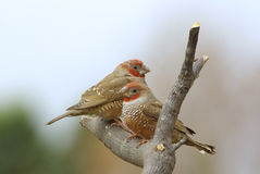 Red-headed finches amadina erythrocephala Royalty Free Stock Images