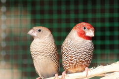 Red headed finches Stock Photo