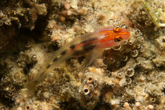 Red headed goby. A small colorful fish sitting on a rock in Gulf of California off the coast of La Paz Mexico Stock Image