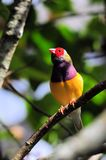 Red-headed Gouldian finch bird Royalty Free Stock Images