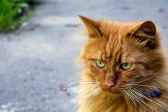 Red-headed kat royalty-vrije stock fotografie