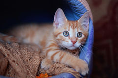 Red-headed   kitten in a personal house Stock Photos