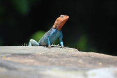 Red headed lizard Stock Images