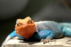 Red headed lizard Royalty Free Stock Images