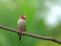 Red headed male finch Stock Photo