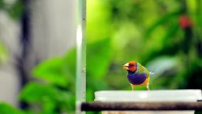 Red-headed male Gouldian finch bird Royalty Free Stock Image