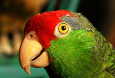 Red headed Mexican Parrot. Head only stock photography