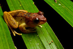 Red headed mist frog Stock Photo