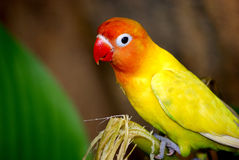 A red headed parakeet. At an end of a stick. This image was taken at KL bird park Royalty Free Stock Image