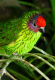 Red headed parrot finch, Erythrum pisttacea Royalty Free Stock Photography