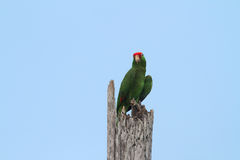 Red headed parrot Stock Image