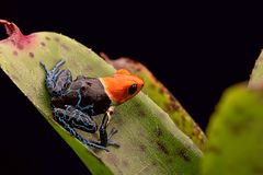 Red headed poison arrow frog ranitomeya fantastica royalty free stock images