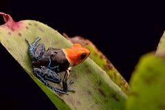 Red headed poison arrow frog ranitomeya fantastica stock image