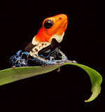 Red headed poison dar frog stock photo