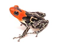 Red headed poison dart or arrow frog Ranitomeya fantastica Caynarichi stock photo