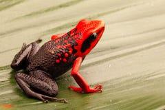 Red headed poison dart frog, Ameerega silverstonei stock image