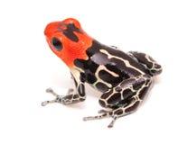 Red headed poison dart frog Ranitomeya fantastica Caynarichi stock images