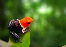 Red headed poison dart frog , ranitomeya fantastica royalty free stock image