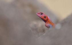 Red headed rainbow lizard portrait Stock Photos