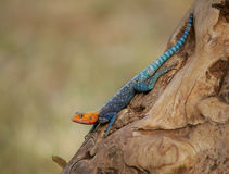 Red-headed rock agama. A red-headed rock agama on the side of a tree Stock Images