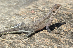 Red-headed Rock Agama Royalty Free Stock Images