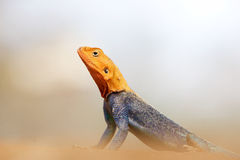 Red-headed Rock Agama (Agama Agama) Royalty Free Stock Images