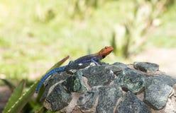 Red-headed Rock Agama Lizard Agama agama Warming on a Rock. In Northern Tanzania Stock Photos