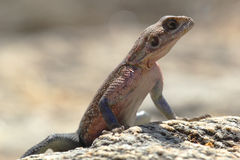 Red-headed Rock Agama Royalty Free Stock Photos