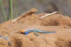 Red-headed Rotsagama in Kenia stock fotografie