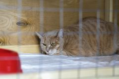Red-headed sad homeless alone cat, lying in cage in a shelter waiting for a home, for someone to adopt him. Red-headed sad homeless alone cat, lying in cage in a Royalty Free Stock Images