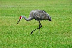 Red-Headed Sandhill Crane Stock Photo