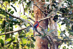 Red-headed Trogon Royalty-vrije Stock Afbeelding