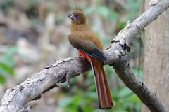 Red-headed Trogon Harpactes erythrocephalus Female Beautiful Birds of Thailand Royalty Free Stock Photos