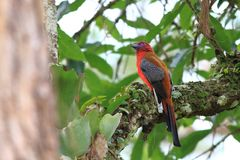 Red-headed on the large branches royalty free stock image