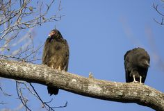 Turkey Vulture and Black Vulture Roost, Georgia, USA. Red headed Turkey Vulture, Cathartes aura, and Black Vulture, Coragyps atratus, carrion crow, perched in Royalty Free Stock Photos