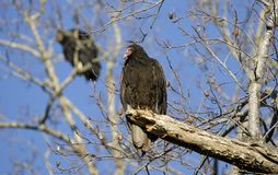 Turkey Vulture Roost, Georgia, USA. Red headed Turkey Vulture, Cathartes aura, carrion crow, perched in roost dead tree. Athens, Clarke County, Georgia. USA Stock Photography