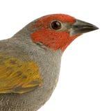 Red-headed Vink - erythrocephala Amadina Stock Fotografie