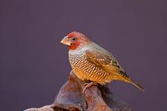 Red-Headed Vink op rots wordt neergestreken die Royalty-vrije Stock Foto's