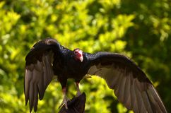 Free Red-headed Vulture Royalty Free Stock Images - 57013579