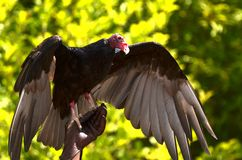 Free Red-headed Vulture Stock Photography - 57013582